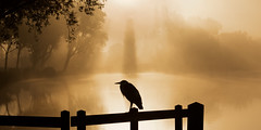 Reiger in silhouet (zsnajorrah) Tags: nature landscape animals bird heron fence trees foliage water river reflection silhouette sun sunrise crepuscularrays goldenhour 7dmarkii netherlands haarlem spaarne mist fog ef70200mmf4l