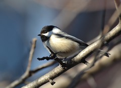 I Can Finally See Your Eyes! (DaPuglet) Tags: chickadee chickadees bird birds nature wildlife tree branches ontario canada coth coth5 ngc npc sunrays5 fantasticnature
