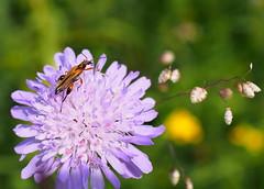 székfű-álcincér / false blister beetle (debreczeniemoke) Tags: nyár summer rét meadow növény plant gyógynövény medicinalplant virág flower mezeivarfű kelésfű rühfű fieldscabious knautiaarvensis knautiedeschamps scabieusedeschamps ackerwitwenblume wiesenwitwenblume nähkisselchen wiesenskabiose muşcatadracului muşcatuldracului mácsonyafélék dipsacaceae loncfélék caprifoliaceae scabiosa rovar insect insecta székfűálcincér falseblisterbeetle oedemèreochracé echteschenkelkäfer oedemerapodagrariae álcincérfélék oedemeridae olympusem5