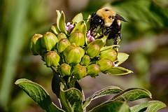 Bumbling Along (brev99) Tags: tamron70300vc topazdetail bee buds tulsabotanicalgardens tulsa d610 highqualityanimals ngc