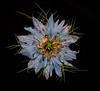 Nigella. (Love-in-a-Mist) (lanadowling) Tags: flower lowlightphotography diffusedlight plant nature strobist offcameraflash