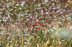 A splash of red. (pstone646) Tags: poppies daises flowers nature meadow wildflowers bokeh dof kent flora field layers