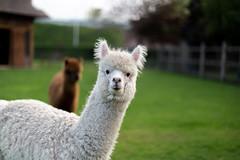 Alpaca (Victor Sassen) Tags: alpaca 12