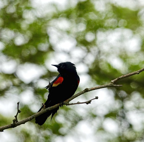 """Red-Winged Blackbird • <a style=""""font-size:0.8em;"""" href=""""http://www.flickr.com/photos/52364684@N03/34613157620/"""" target=""""_blank"""">View on Flickr</a>"""
