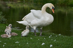 Family Outing (paulinuk99999 (really busy at present)) Tags: paulinuk99999 mute swan royal bushy park london surrey wildlife cygnet young spring may 2017 evening dusk avian bird sal135f18za carl zeiss