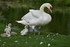 Family Outing (paulinuk99999 (lback to photography at last!)) Tags: paulinuk99999 mute swan royal bushy park london surrey wildlife cygnet young spring may 2017 evening dusk avian bird sal135f18za carl zeiss