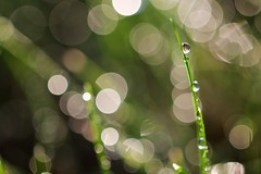 Day 178 of 366 - Morning Dew (manyamoon) Tags: dew droplet glisten grass morning waterdroplet