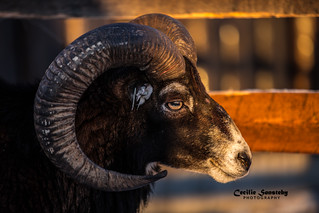 In the eye of the sheep