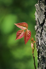 Poison Ivy (Salamanderdance) Tags: plant poison ivy leaves three red new growth