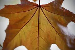 Vein [143/365 2017] (steven.kemp) Tags: maple leaf vein tree king crimson acer