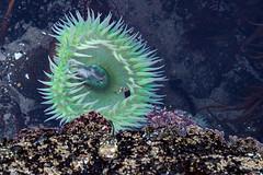 IMG_0859-anemone-os (yachatsrena) Tags: giantgreenanemone tidepools ocean yachats oregoncoast sealife intertidal