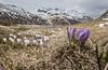 spring in the alps II (DeCo2912) Tags: passo lucomagno lukmanier pass alpen als krokus crocus schnee snow frühling spring primavera