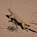 Mojave Fringe-toed Lizard - California