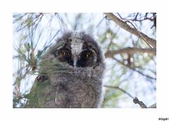 Hibou moyen-duc: juvénile (gilbert.calatayud) Tags: asiootus hiboumoyenduc longearedowl strigidés strigiformes bird oiseau les aiguamolls espagne