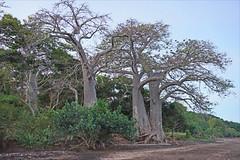 Les grands baobabs au crépuscule (Sakouli, Mayotte)