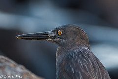 The yellow eyes of a Heron - Galapagos (CapMarcel) Tags: the yellow eyes heron galapagos staring
