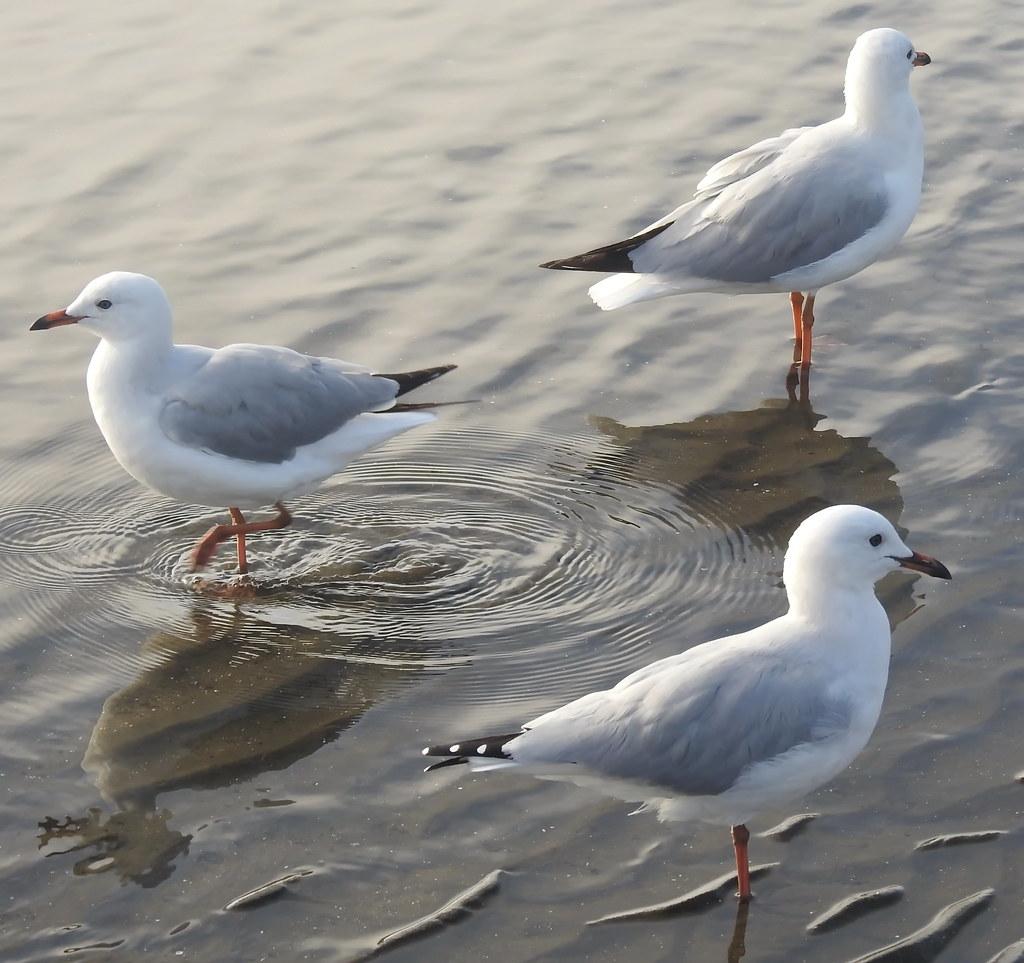 Sea Gulls  at Sandgate (10)