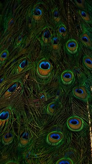Peacock Peacock Feather Feather  Fanned Out Bird Animal Themes Multi Colored Beauty Close-up Beauty In Nature One Animal Full Frame No People Vanity Animal Wildlife Green Color Animals In The Wild Fragility Nature Tail Peafowl Indian Blue Peacock