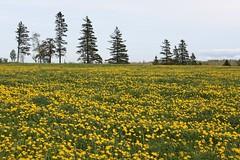 South Granville, PEI (Craigford) Tags: southgranville pei canada field dandelions