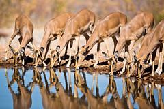 Female Impala at Water Hole in Ongava Lodge   Namibia (ynaka29) Tags: namibia ongavalodge waterhole impala etosha ongavagamereserve wildlife africa safari
