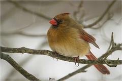 Northern Cardinal (Female) (pinakin2in) Tags: northerncardinal birds commonbirds connecticutbirds smallest canon canongear