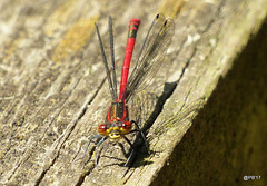 Large Red Damselfly. (postman.pete) Tags: hwcp bokeh insect lumix macro may moth spring tit wicked beer railroad flying festival florida lego zoo happy airplane national weather nikkor big australia feet pretty me brown grey moon cityscape shore asia friends flickr storm cute rural japan day monument dance restaurant desert pond tamron canada gold dusk downtown fujifilm bnw wild 7dwf usa selfie fuji chile ford large red damselfly