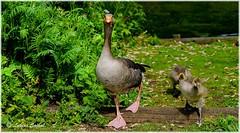 Pride And Joy II (lukiassaikul) Tags: wildlifephotography wildanimalswildbirds largebirds grealag goose geese goslings weststowcountrypark naturereserve suffolk uk