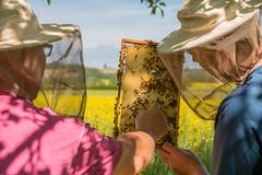 beekeepers harvesting honey (Joe Snowman) Tags: bienen canon canoneos70d dölgenberg efs1585mmf3556isusm eichsfeld fruühling germany honig honigbienen imker imkerei königin obstwiese streuobstwiese thuringia thüringen westhausen wingerode bees betteroutside blooms canolafield honey honeybee honeycomb optoutside queenbee spring bodenrodewesthausen