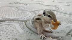 Cute Baby Squirrel Bravo (RC Radha) Tags: baby squirrel squirrellover squirrelvideos squirrelcare squirrelplaying squirrelworld squirreleating squirrels photography photoshoot photographylovers petlovers pet photographers animallovers animals adorable babysquirrel spring eating food