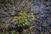 Spring Wildflowers, Marsh Marigolds (marylea) Tags: hudsonmills hudsonmillsmetropark apr22 2017 wildflowers plants michigan washtenawcounty marsh yellow spring springtime calthapalustris