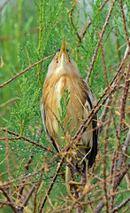 Little Bittern in camouflage posture. (E P Rogers) Tags: greece bitterning posture beak eyes legs camouflage