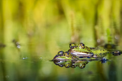 ...Doppeldecker... (rhonz.photo) Tags: natur wildlife frosch frösche makro canon m3 eos tamron 90mm stack stacking helicon focus