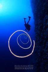 Wire coral vortex (Nicolas & Léna REMY) Tags: africa marinelife nauticam ocean rebreather revo redsea wildlife coral underwater inon sudan afrique corail diving mer merrouge photography plongée recycleur scuba sea soudan wild