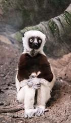DSC04039 (montusurf) Tags: sifaka lemur primate pose cincinnati zoo ohio zoosofnorthamerica