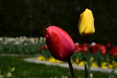 Tulips DSC_0410 (Me now0) Tags: лале следобед софиябългарияевропа юженпарк никонд5300 китовобектив 1855mmf3556 цвете tulip afternoon пролет spring europe nikond5300 basiclens park