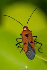 _5ND9579_LR_LOGO (Ray 'Wolverine' Li) Tags: heteroptera insects stainer pyrrhocoridae hongkong asia