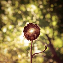 Courage (TheExplorographer.com) Tags: sun flare vintagelens sunflower halo summer explore travel photography
