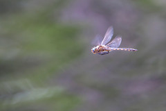 Hovering (cheryl.rose83) Tags: dragonfly odenata insect baskettail