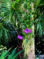 Purple orchid (LarryJay99 ) Tags: nature plants green westpalmbeach florida photostream foliage orchids iphone6plusbackcamera415mmf22