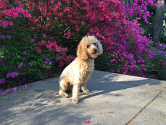 (Jean Arf) Tags: highlandpark rochester spring 2017 azalea flower bloom blossom stairs steps fredericklawolmsted dog poodle dusty miniaturepoodle