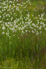 Whitetop Sedge, Dichromena colorata (stephaniepluscht) Tags: alabama 2017 graham creek nature preserve foley wildflowers wildflower bog whitetop sedge dichromena colorata white top