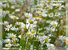 Sommerträume (mayflower31) Tags: sommer sonne summer blumen flowers blumenwiese margeriten