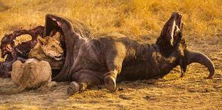 Boss baby, Serengeti National Park, Tanzania