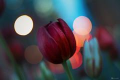 Light Bubbles (patviau) Tags: flowers tulip tulips tulipfestival bokeh colors red beautiful ottawa
