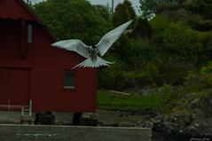 common tern (Morten T.) Tags: bird birdpics birds wildbird sea sealife canon canoneos80d canonphoto norway norge tamron tamronlens thisphotorocks