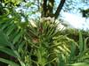 Wollemia Nobilis 21.04.2014 (NashiraExoticGarden) Tags: wollemianobilis exoticgarden exotentuin 21042014