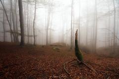 El silencio del bosque (Zapetin) Tags: urbasa bosque niebla hayedo musgo hojas ruby3