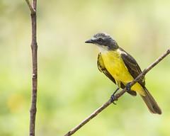 Gray-capped Flycatcher (J.B. Churchill) Tags: birds costarica flycatchers gcaf graycappedflycatcher heredia places selvaverdelodge taxonomy herediaprovince cr laselva