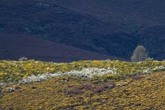 Spring mountain scrubs (ramosblancor) Tags: naturaleza nature paisaje landscape montaña mountain matorral scrub piornales tojares brezales heaths brooms flor flower blossom floración color primavera spring fuentesdelnarcea asturias