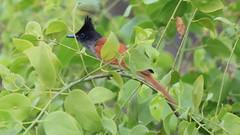 Asian Paradise-flycatcher (Female)